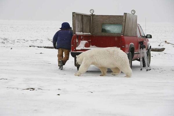 Polar_bear_2